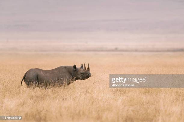 alone. - ngorongoro conservation area stock pictures, royalty-free photos & images