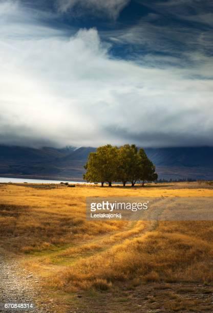 Alone tree in New Zealand.