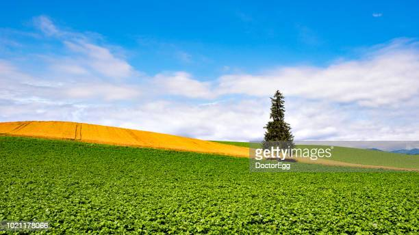 alone tree of christmas tree at biei patchwork road in summer, hokkaido, japan - biei town stock pictures, royalty-free photos & images
