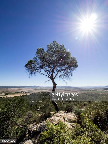 Alone tree, pine on the top of a mountain with the blue sky and the Sun in the shape of star