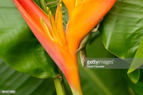 along the flower - guadeloupe photos et images de collection