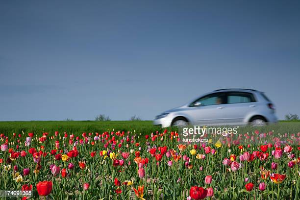 Auf das Tulpenfeld