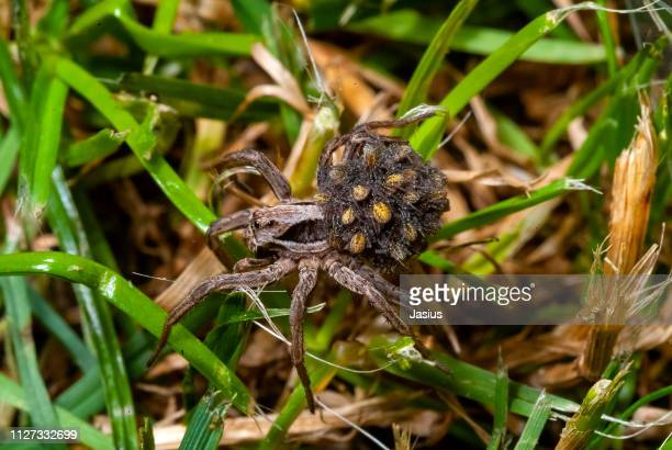 Alopecosa fabrilis – wolf spider