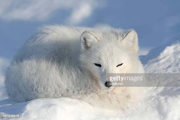 alopex lagopus. - arctic fox stock pictures, royalty-free photos & images