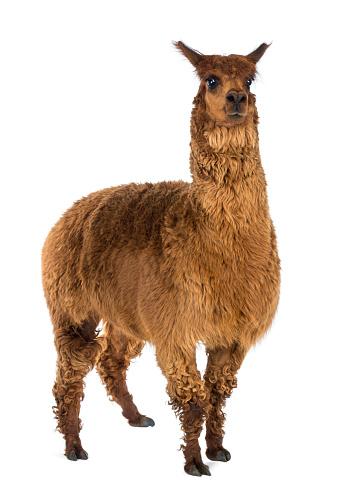 Alpaca against white background 1069137548
