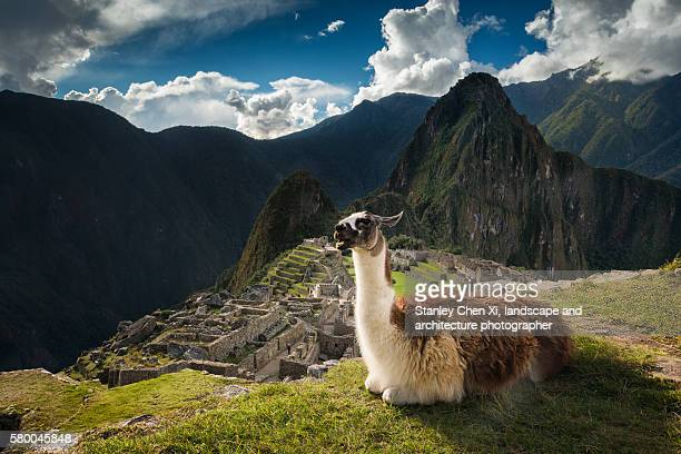 alpaca and machu picchu - lama stock pictures, royalty-free photos & images