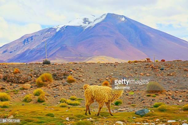 Alpaka Anden Lama, tierische Wildlife in den bolivianischen Anden Altiplano und idyllischen Atacama-Wüste, vulkanische Landschaft Panorama – Potosi Region, bolivianischen Anden, Chile, Bolivien und Argentinien Grenze