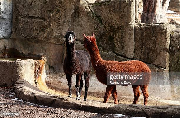 Alpaca at Lincoln Park Zoo in Chicago on January 19 2015 in Chicago Illinois