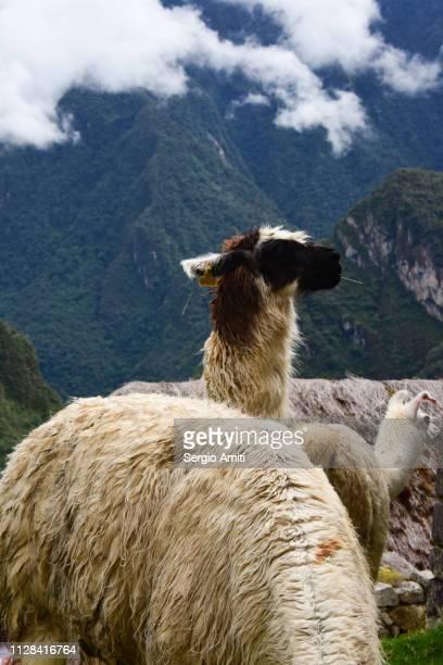 alpaca at machu picchu - llama animal fotografías e imágenes de stock