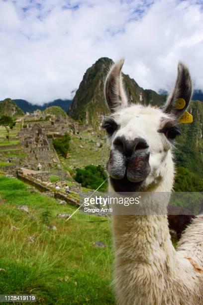 alpaca at machu picchu - lama photos et images de collection