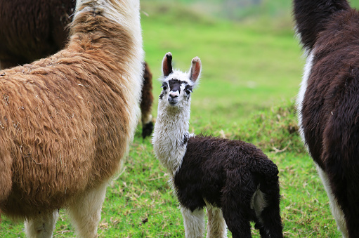 Alpaca baby with his mother 826981110