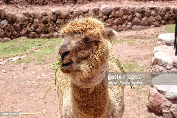 Alpaca chewing grass