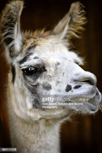 Alpaca Close Up with Funny Face