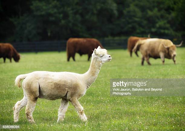 Alpaca Crosses in Front of Scottish Highland Cattle