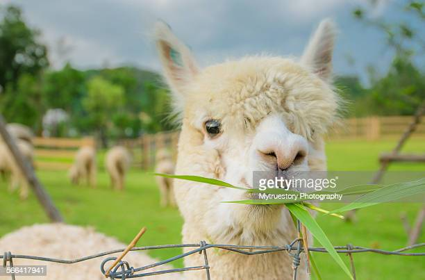 Alpaca eating grass