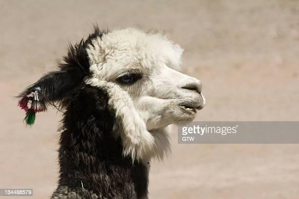 Alpaca (Lama pacos), Lauca National Park, Arica and Parinacota Region, Chile, South America