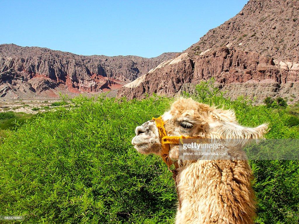 Alpaca near Salta, Argentina : Stock Photo