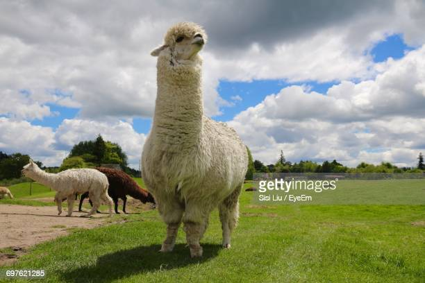 Alpaca On Field Against Sky