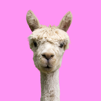 Alpaca on pink background 1165507163