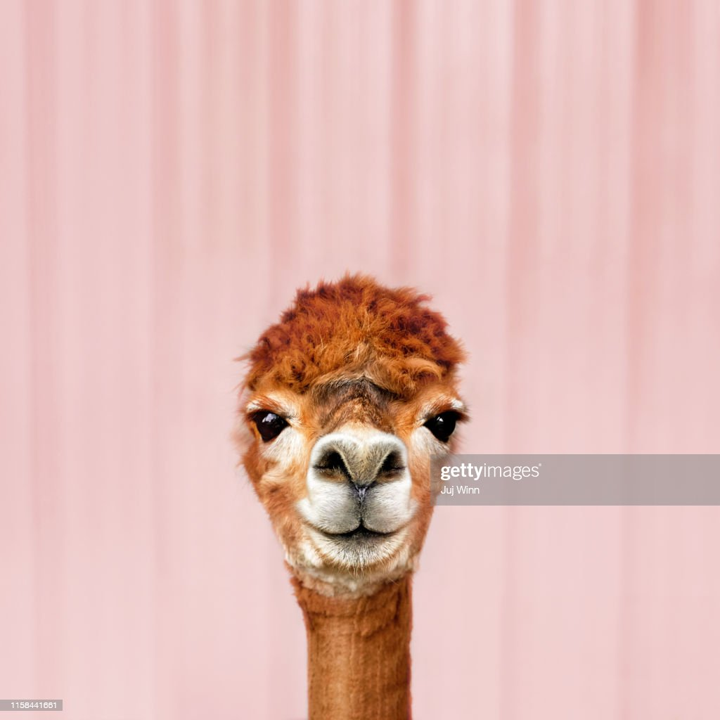 Alpaca : Stock Photo
