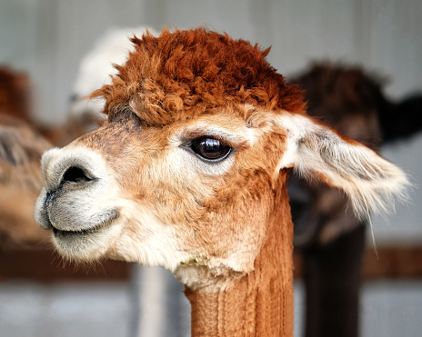 Alpaca - gettyimageskorea