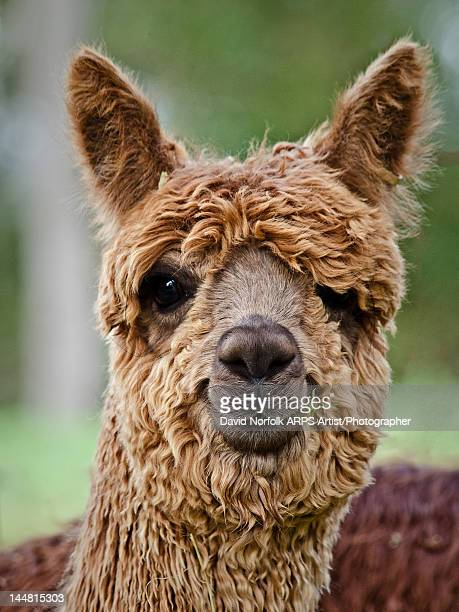 alpaca - lama stock pictures, royalty-free photos & images
