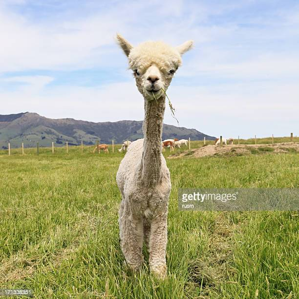 alpaca - one animal stock photos and pictures