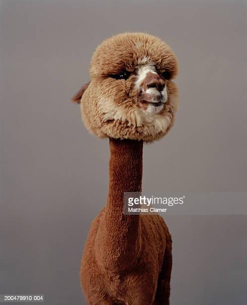 alpaca - llama animal fotografías e imágenes de stock
