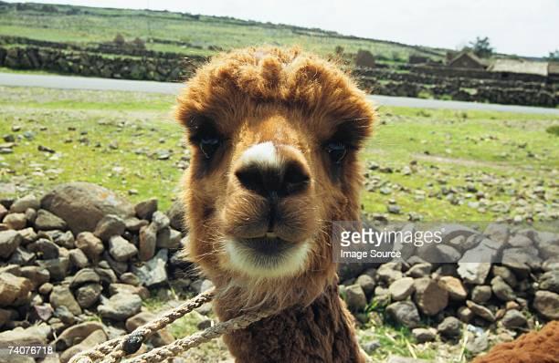 alpaca - lama photos et images de collection