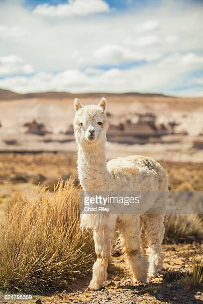 Alpaca portrait in the high desert of Peru