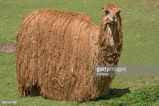 alpaca ready for shearing - alpaga photos et images de collection