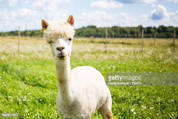 Alpaca Standing On Grassy Field