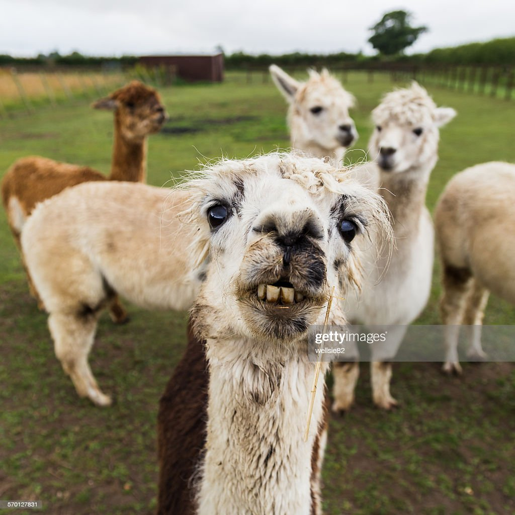 Alpaca starring into the camersa : Stock Photo