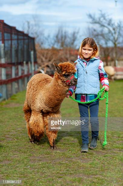 alpaca with a girl - llama stock pictures, royalty-free photos & images