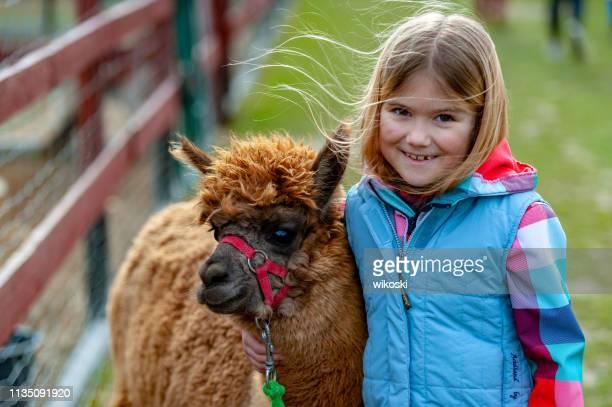 alpaca con una chica - llama animal fotografías e imágenes de stock