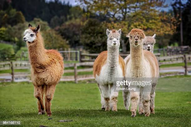 alpaca/llama - lama stock pictures, royalty-free photos & images