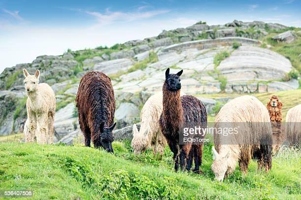 alpacas and llamas in sacsayhuaman, cuzco, peru - alpaga photos et images de collection