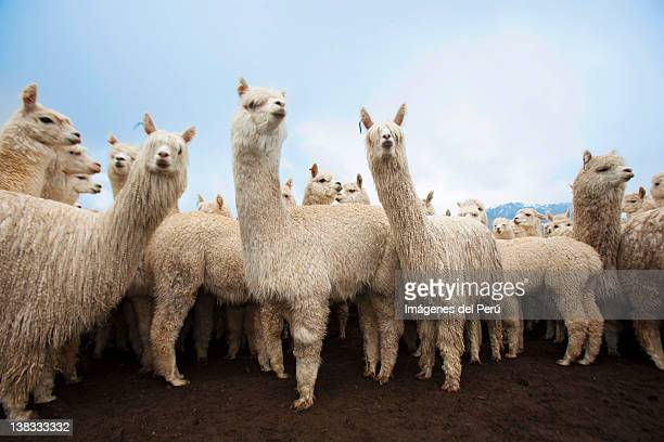 alpacas animal, lima, peru - lima animal stock pictures, royalty-free photos & images