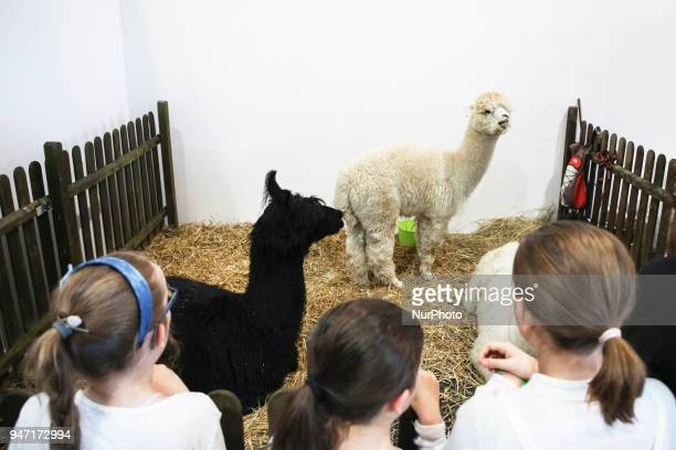 Alpacas are shown during 'Animal Show 2018' trade fair and exhibition in Krakow Poland on 14 April 2018