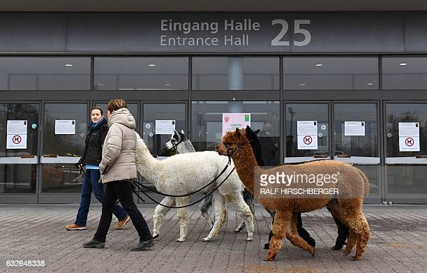 Alpacas are walked on the fairgrounds to their their booth on January 25 2017 during the International Green Week agricultural fair in Berlin The...