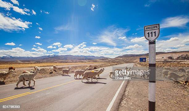 alpaca's crossing road in southern peru - alpaga photos et images de collection