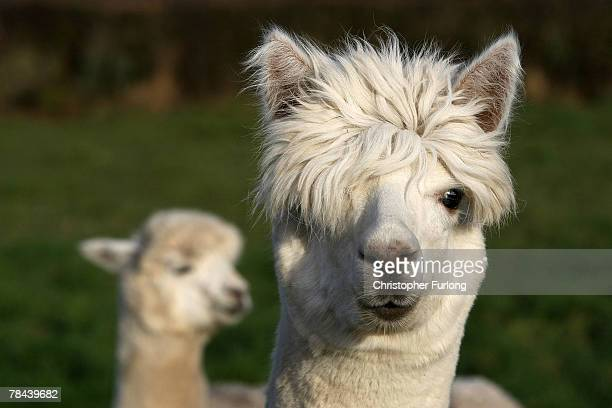 Alpacas graze on a field owned by farmer Khanikhah Guy at her country small holding on December 12 near the village of Pickmere Knutsford England...