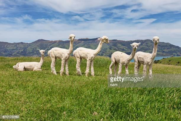 Alpakas-Herde auf der Weide, Acaroa, Neuseeland