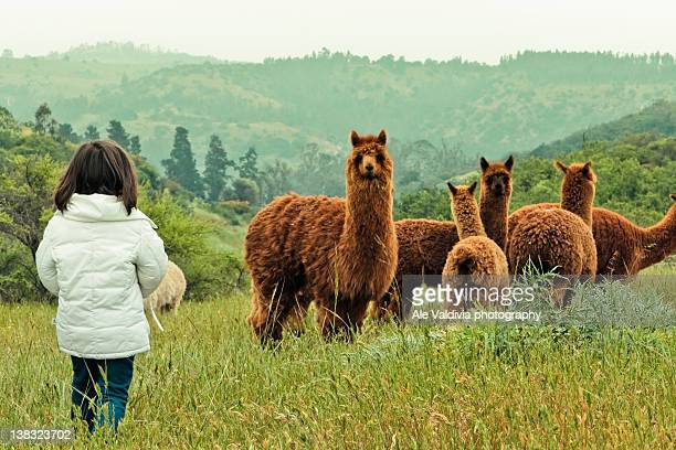 Alpacas in mountain