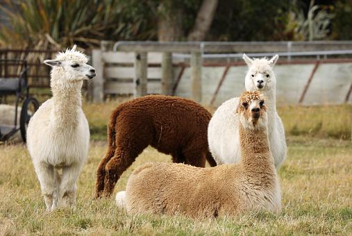 Alpacas in New Zealand 1144397456