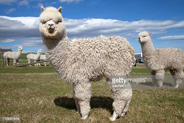 alpacas on a farm, scotland - lama stock pictures, royalty-free photos & images