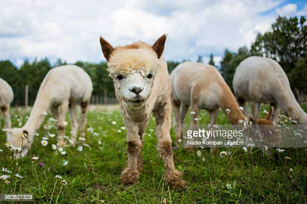 Alpacas On Grassy Field Against Sky