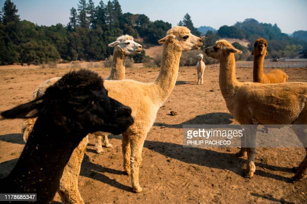 Alpacas roam a dirt field at a farm along Chalk Hill Road in Windsor California on October 28 2019 Chalk Hill Road which acts as a wind tunnel during...