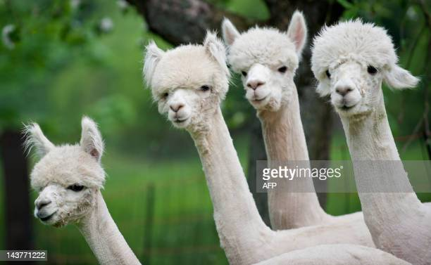 Alpacas stand on a field in Friedberg central Germany on May 2 2012 Originally coming from South America Alpacas are kept as hobby animals in Europe...