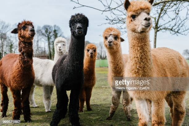 alpacas standing in a field - vertebrate stock pictures, royalty-free photos & images
